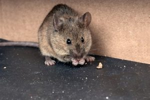 Seattle Home Inspection a huge rat